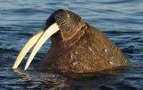 Walrus ivory tusk